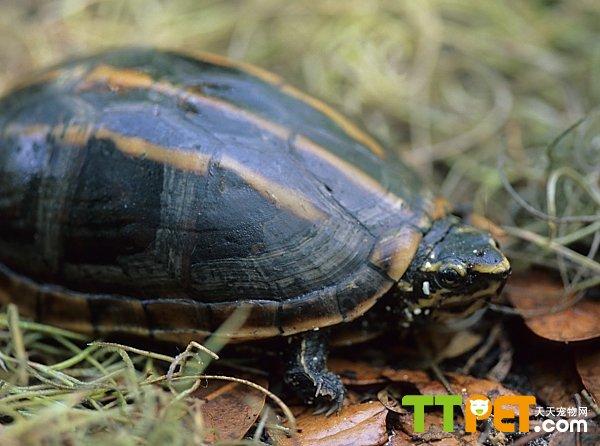 动物性食物主要包括:蜗牛,昆虫,软体动物,甲壳纲动物,两栖类动物,以及