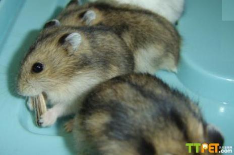 今天我们来了解一下仓鼠这种小动物吧