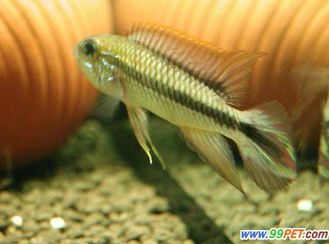 阿卡西短鲷的特征及雌雄鉴别
