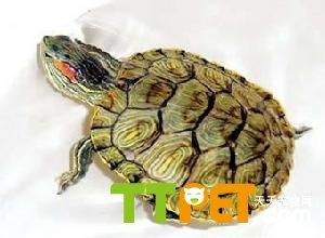 乌龟的平均寿命是多少年 乌龟能活多久