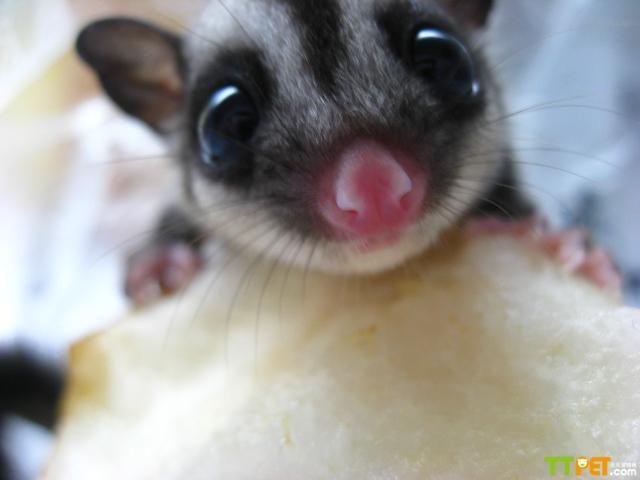 到底     蜜袋鼯是夜行动物,白天基本都在睡觉,只有到了晚上才会出来